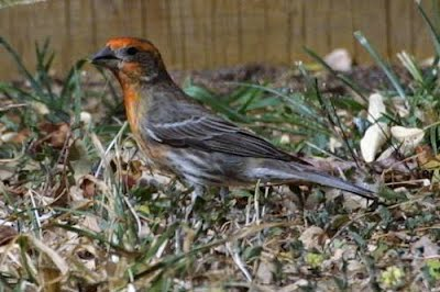 Common House Finch