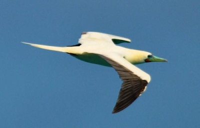 Red Footed Booby, white morph