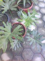 https://sites.google.com/site/thomchrists/Kebatinan-dan-Spiritual/ngobrol-9-kebatinan---kegaiban/ngobrol-9j/phylodendron.jpg