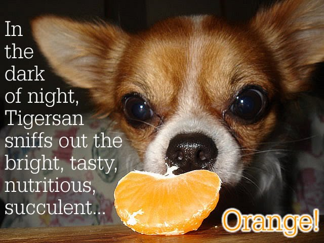 From TigerSan's PhotoBlog: In the dark of night, Tigersan sniffs out the bright, tasty, nutritious, succulent... Orange!