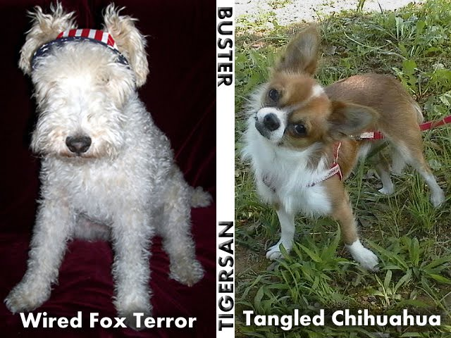 From TigerSan's PhotoBlog: Buster: The Wired Fox Terror, Tigersan: The Tangled Chihuahua