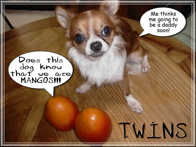 From TigerSan's PhotoBlog: Twins: Me thinks me going to be a daddy soon! Does this dog know that we are MANGOS!!!