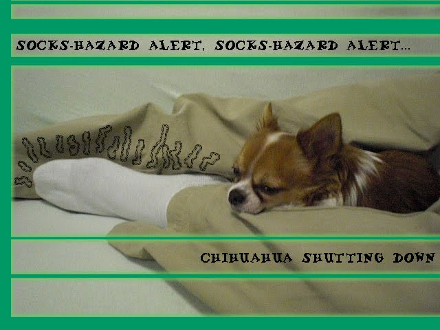 From TigerSan's PhotoBlog: Socks-hazard ALERT, Socks-hazard ALERT... Chihuahua Shutting Down