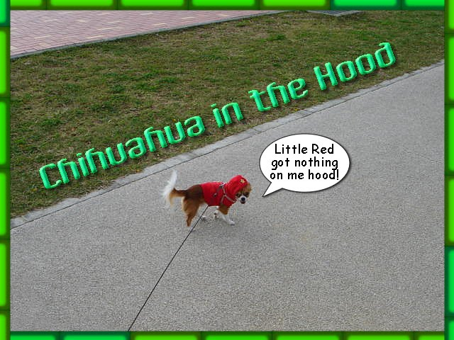 From TigerSan's PhotoBlog: Chihuahua in the hood. Little Red got nothing on me hood!