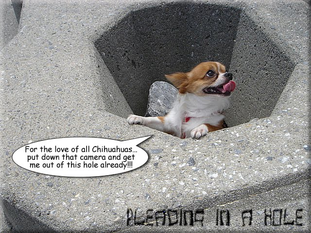 From TigerSan's PhotoBlog: Pleading in a Hole: For the love of all Chihuahuas... put down that camera and get me out of this hole already!!!