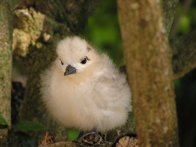 IMAGE(http://trostomaten.googlepages.com/fairy_tern_chick.jpg)