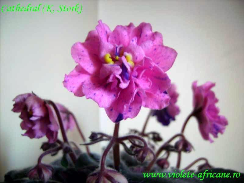 Catalogstandard Violeteafricanesaintpaulia