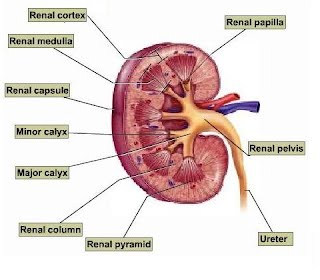 Renal - Normal Anatomy - Virginia\'s Sonography Site