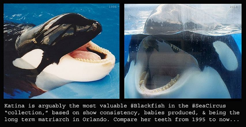 The Current Story Voice Of The Orcas