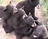 congo bears 200w