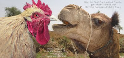 Killer the Giant Fighting Cock Rooster  goes mouth to mouth with Devil the Dangerous Fighting Camel