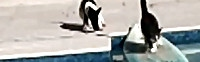 Houdini the Fearful Cat escapes on surfboard. Video