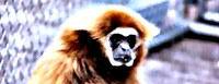 Listen to Pavarotti's Opera Singing White Haired Gibbon Ape singing a Verdi Chorus accompanied by rhythm of slamming door to audition for the Metropolitan Opera