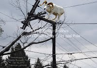 Flying Sheep Crashes Knocks Down Utility Lines and Pole