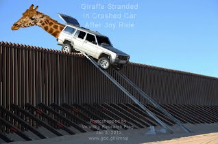 Giraffe Stranded In Crashed Car After Joy Ride (Volatility Research)
