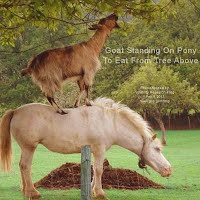Goat Standing On Pony To Eat From Tree Above (Volatility Research) 1000w