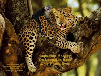 Capuchin Monkey On Leopards Back Only Photo Ever (Volatility Research) 1000w