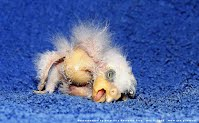 Worlds Ugliest Bird Orphan Baby Kea Parrot (Volatility Research) 1000h 307 p06 germanys-ugliest-parrot-is-the-leipzig-zoos-n-L-GUH3Yl 1000h