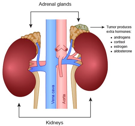 Adrenal Glands Website Psychology
