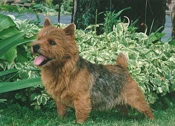 Our Norwich Terriers -...