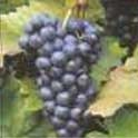 http://windintheroses.googlepages.com/wildyeast_grapes.jpg