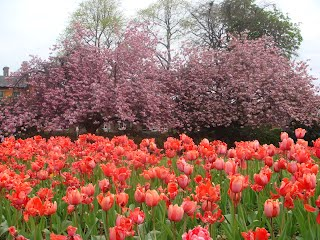 Withington Green - tulips and cherry blossom