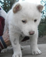 White Phase female wolf dog hybrid pup