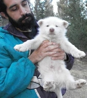White phase wolf dog pup for sale