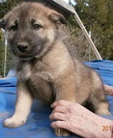 wolf dog hybrid for sale