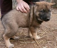 Wolf hybrid puppy for sale