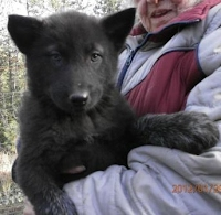 Wolf dog pup for sale