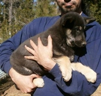 black wolf pup for sale