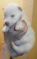 Wolf Hybrid Puppy for sale Mackenzie Valley and Timber Wolf. CKC