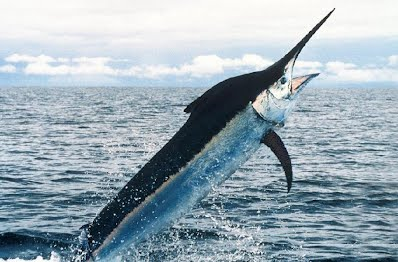 Fastest in the Ocean: Sailfish