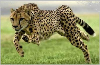 Fastest Animal on Land