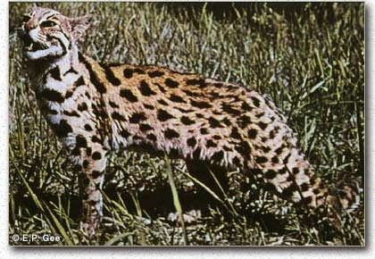 Asian Leopard Cats For Sale In Texas