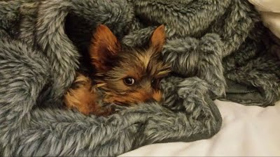 Yorkie puppies in Cape Town