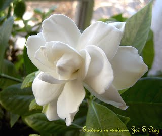 Gardenia in winter